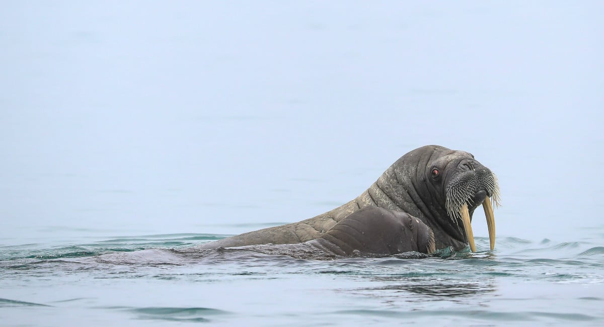 Walrus swimming in the Arctic waters