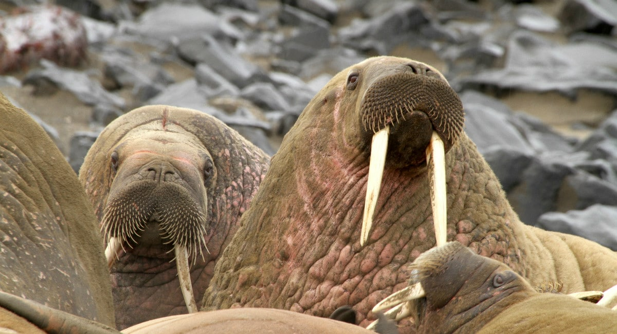 Walrus harem in the Arctic