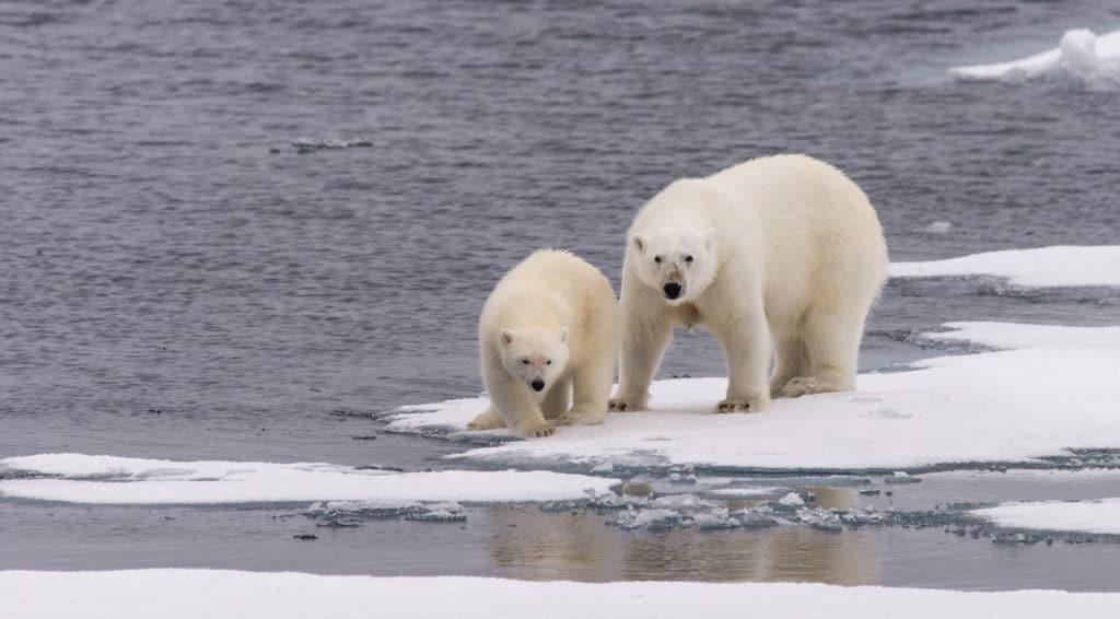 Polar bear mum and cub